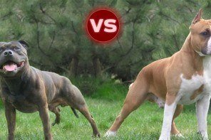 amstaff vs staffie