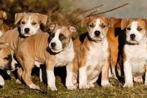 chiots american staffordshire