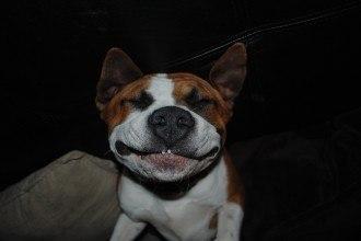 sourire amstaff