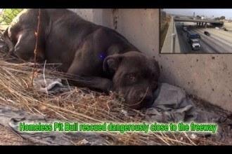 Un pitbull sauvé après un an d'errance